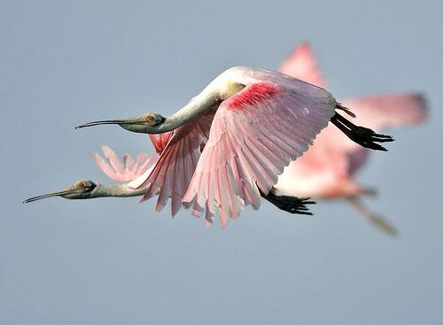 مرغان منقار قاشقی در حال پرواز