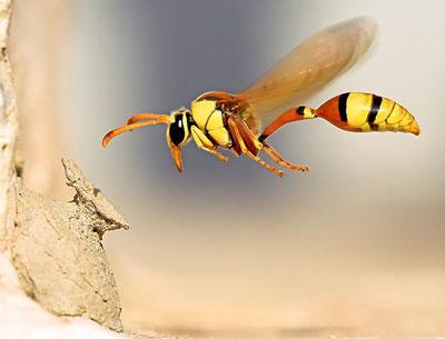 A Potter Wasp