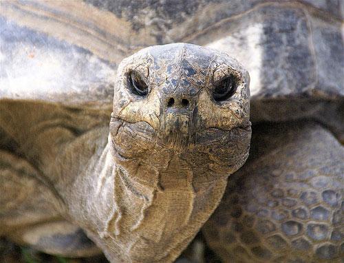500 Pound Tortoise