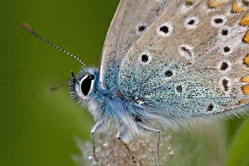 Haystack Butterfly