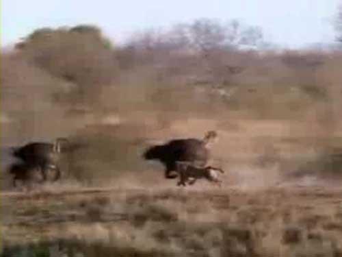 شکار شیرها