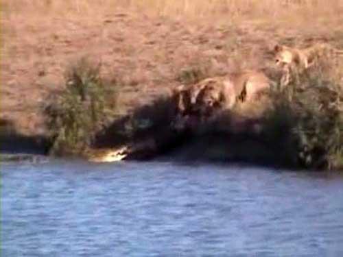 دعوای تمساح و شیرها