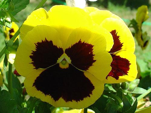 viola.. ma gialla