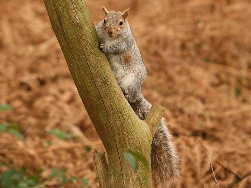Grey Squirrel, Sandringham, 29-Jan-08