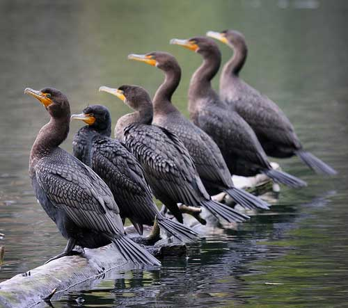 Cormorants - on a log