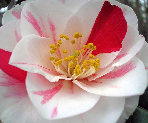 camellia, 'lady van sittart'