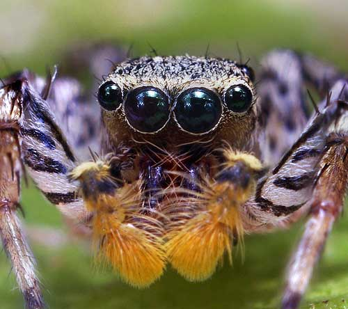Bizarre Dimorphic Jumping Spider Face - (Maevia inclemens)